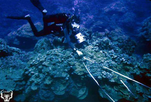 Deeper reefs (20-40 foot depths) at Hakioawa are dominated by the corals Montipora capitata, Montipora patula and Porites compressa. This photo shows John Pye (Maui Community College) running video transects at the Hakioawa 30 foot site. Photo by Paul Jokiel, Aug. 2000.