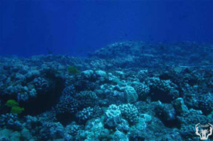 Shallow reefs (5-10 foot depths) at Hakioawa are dominated by the corals Pocillopora meandrina and Porites lobata. Note steep slope of reef into deeper water. Photo by Paul Jokiel, Aug 2000.
