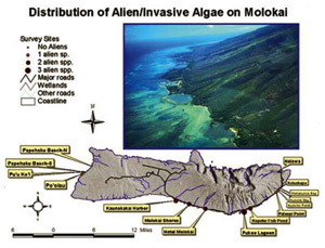Figure 15. Introduced Algae Distribution on Moloka�i (Courtesy of Jennifer Smith, UH Botany Dept.)