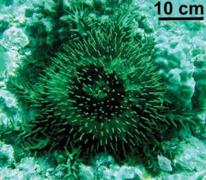 "Figure 11. Adult Acanthaster planci or ""Crown of Thorns Starfish"" off Kamiloloa, Molokai feeding on the coral Montipora capitata."